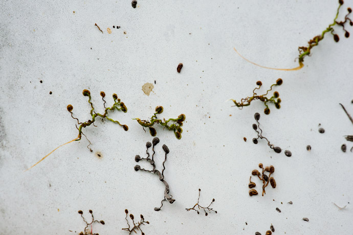 Remains of the Vine's Adhesive Tendrils -- Rootstown, OH, USA -- Copyright 2010 Jeffrey Friedl, http://regex.info/blog/