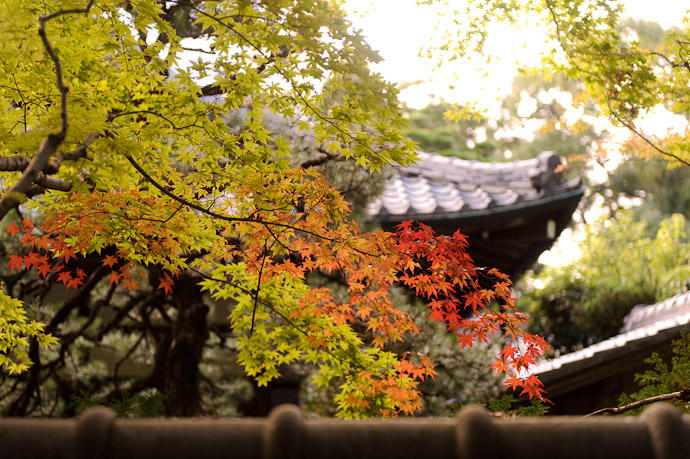 First Taste of Autumn in Kyoto's late October -- Koutou-in Temple (高桐院) -- Kyoto, Japan -- Copyright 2010 Jeffrey Friedl, http://regex.info/blog/