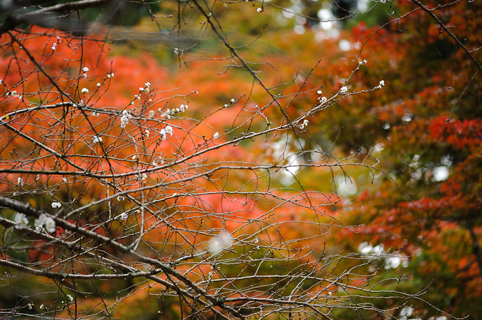 Cherry Blossoms in November at the Kongourinji Temple, Shiga Prefecture, Japan -- Kongourinji Temple (金剛輪寺) -- Aisho, Shiga, Japan -- Copyright 2010 Jeffrey Friedl, http://regex.info/blog/
