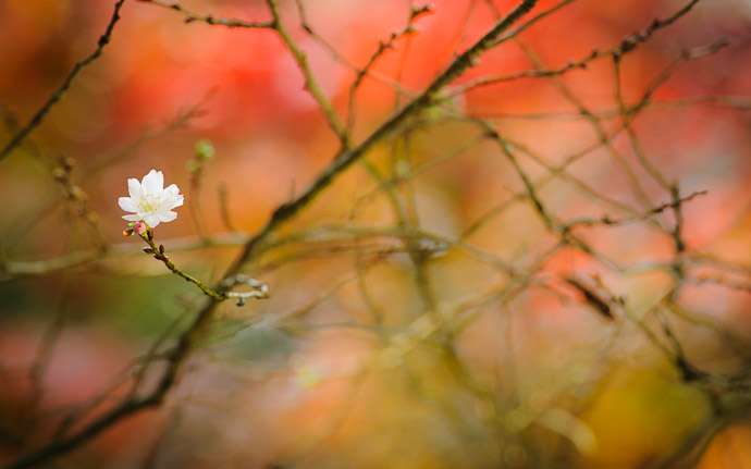 desktop background image of a cherry blossom in November, at the Kongourinji Temple (金剛輪寺) in Shiga, Japan  --  Ying and Yang cherry blossom among the autumn colors, at the Kongourinji Temple (金剛輪寺), Shiga Japan  --  Kongourinji Temple (金剛輪寺)  --  Aisho, Shiga, Japan  --  Copyright 2010 Jeffrey Friedl, http://regex.info/blog/