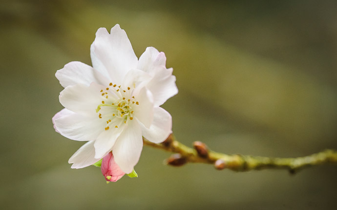 desktop background image of a cherry blossom in November, at the Kongourinji Temple (金剛輪寺) in Shiga, Japan  --  Kongourinji Temple (金剛輪寺)  --  Aisho, Shiga, Japan  --  Copyright 2010 Jeffrey Friedl, http://regex.info/blog/  --  This photo is licensed to the public under the Creative Commons Attribution-NonCommercial 3.0 Unported License http://creativecommons.org/licenses/by-nc/3.0/ (non-commercial use is freely allowed if proper attribution is given, including a link back to this page on http://regex.info/ when used online)