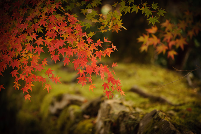 desktop background image of red, green, and yellow momiji (Japanese Mapel) overhanging a creamy out-of-focus moss-covered stone wall -- First Photo of a Productive Day -- Sanzen-in Temple (三千院) -- Kyoto, Japan -- Copyright 2010 Jeffrey Friedl, http://regex.info/blog/