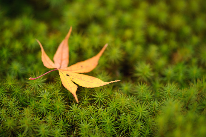 desktop background image of a fallen orange maple leaf on a bed of green moss -- Cliché but with good reason -- Sanzen-in Temple (三千院) -- Kyoto, Japan -- Copyright 2010 Jeffrey Friedl, http://regex.info/blog/