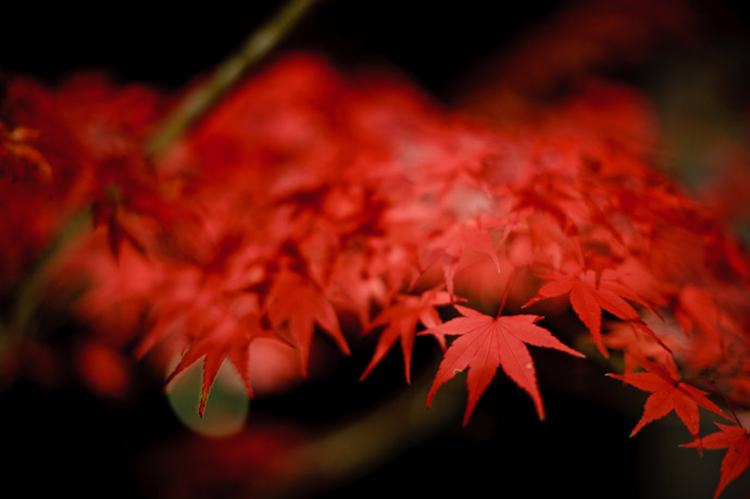 desktop background image of vividly-red momiji (Japanse Mapel) at the Eikando Temple, Kyoto Japan -- Powerful, But Somehow Soft -- Eikando Temple (永観堂) -- Copyright 2010 Jeffrey Friedl, http://regex.info/blog/