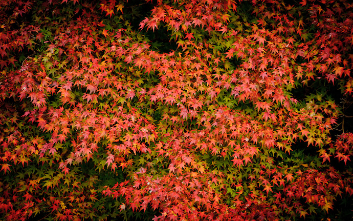 a fall colors at the Yoshiminedera Temple in southern Kyoto, Japan