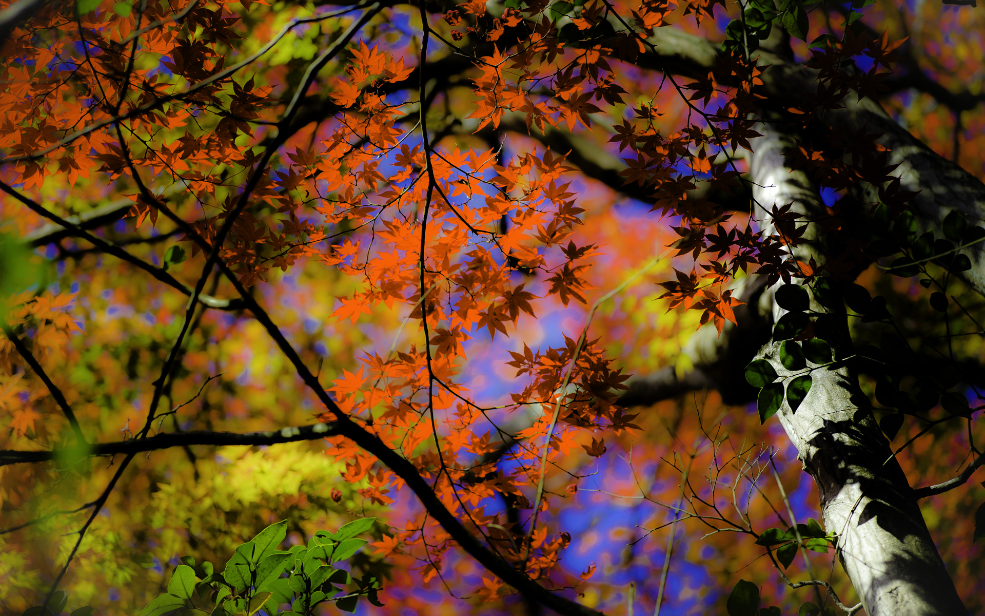 Jeffrey Friedl's Blog » Kyoto Fall-Color Preview With