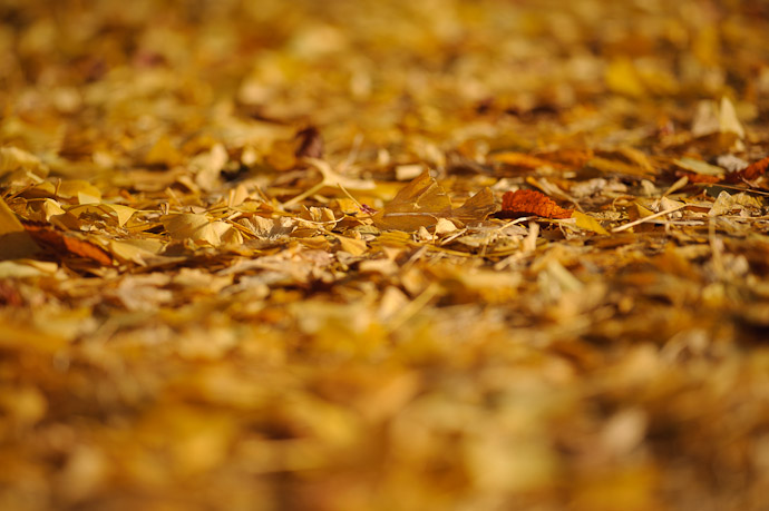desktop background image of a carpet of yellow leaf at the Iwato Ochiba Shrine (岩戸落葉神社) in the mountains of north-west Kyoto, Japan -- Iwato Ochiba Shrine (岩戸落葉神社) -- Copyright 2010 Jeffrey Friedl, http://regex.info/blog/