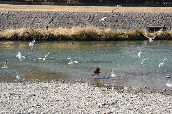 Gull Scores a Bread time zero -- Kamo River north of Nijo -- Kyoto, Japan -- Copyright 2011 Jeffrey Friedl, http://regex.info/blog/