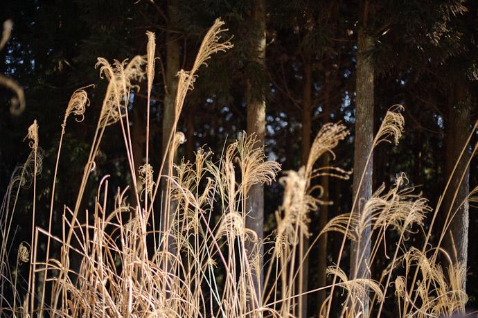 Susuki Grass -- Toufuu Shrine (道風神社) -- Kyoto, Japan -- Copyright 2011 Jeffrey Friedl, http://regex.info/blog/
