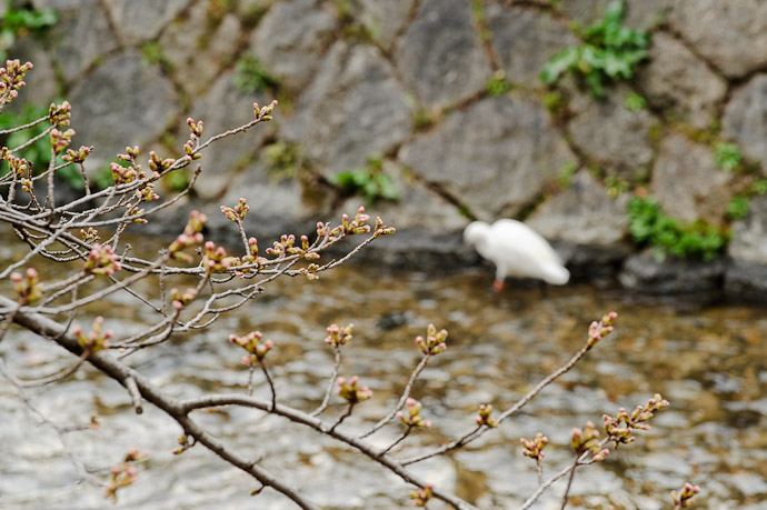 Buds and Egret -- Kyoto, Japan -- Copyright 2011 Jeffrey Friedl, http://regex.info/blog/