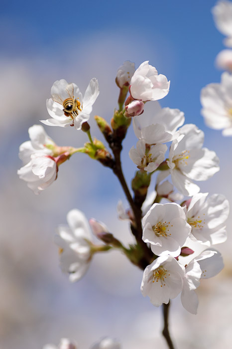 desktop background image of a bee on some cherry blossoms -- Sanyo Highway Seto Parking Area (山陽自動車道瀬戸パーキングエリア - 下り) -- Okayama, Japan -- Copyright 2011 Jeffrey Friedl, http://regex.info/blog/