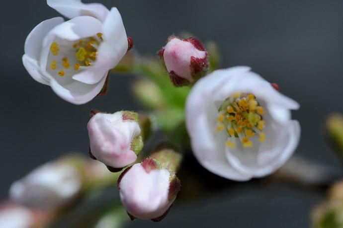 desktop background image of cherry blossom in Japan -- Base of the Blossom @ f/5.6 -- Sanyo Highway Seto Parking Area (山陽自動車道瀬戸パーキングエリア - 下り) -- Okayama, Japan -- Copyright 2011 Jeffrey Friedl, http://regex.info/blog/