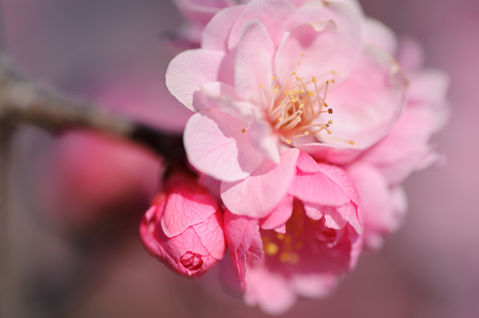 desktop background image of very pink blossoms (cherry?) -- Mommy, Daddy, and Baby Blossom -- Mt. Takamiyama (高見山) -- Onomichi, Hiroshima, Japan -- Copyright 2011 Jeffrey Friedl, http://regex.info/blog/