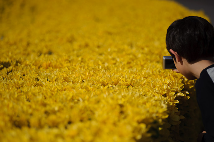 Yellow Hedge -- Imabari, Ehime, Japan -- Copyright 2011 Jeffrey Friedl, http://regex.info/blog/