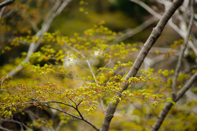 desktop background image of Japanese momiji maple in the springtime -- Crisp and Fresh I like it. -- Imakumano Kannonji Temple (今熊野観音寺) -- Kyoto, Japan -- Copyright 2011 Jeffrey Friedl, http://regex.info/blog/