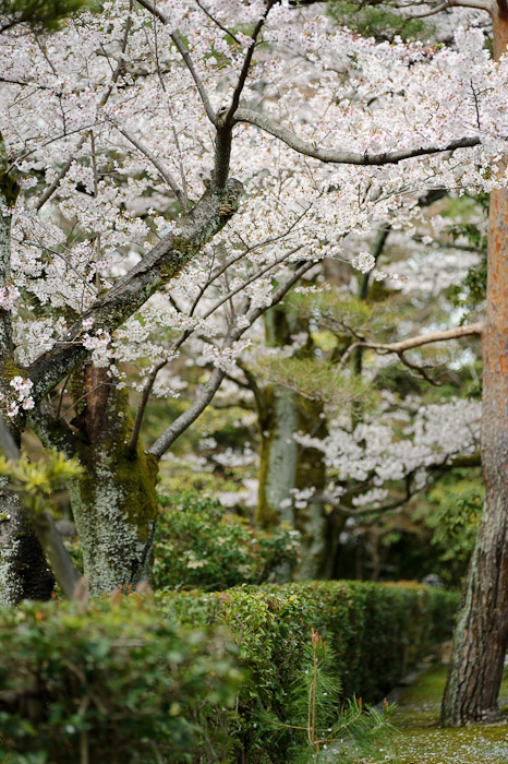desktop background image of a pleasant cherry-blossom-filled side garden at the Sennyuji Temple (泉涌寺), Kyoto Japan -- Side Garden Sennyuji Temple (泉涌寺) -- sub temple of the Sennyuji Temple(泉涌寺) -- Copyright 2011 Jeffrey Friedl, http://regex.info/blog/
