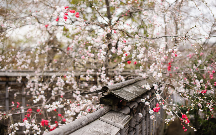 desktop background image of red/white blossoms on a tree outside the Soba Tea House Sawasho (そば茶寮澤正), Kyoto Japan  --  Apricot or maybe Plum, but I think I recall being told that it was apricot Just outside the Soba Tea House Sawasho (そば 茶寮澤正), Kyoto Japan  --  Soba Tea House Sawasho (そば茶寮澤正)  --  Copyright 2011 Jeffrey Friedl, http://regex.info/blog/  --  This photo is licensed to the public under the Creative Commons Attribution-NonCommercial 3.0 Unported License http://creativecommons.org/licenses/by-nc/3.0/ (non-commercial use is freely allowed if proper attribution is given, including a link back to this page on http://regex.info/ when used online)