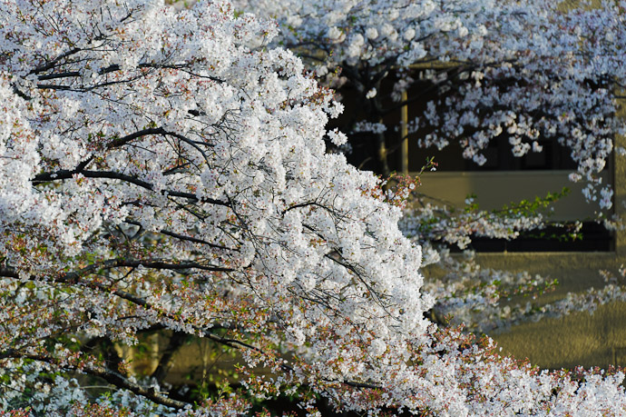 Branch of Blossoms -- Kyoto, Japan -- Copyright 2011 Jeffrey Friedl, http://regex.info/blog/
