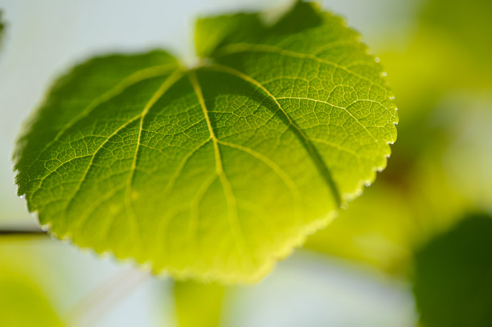 desktop background image of a backlit spring-green leaf -- Backlit Growth -- Kyoto, Japan -- Copyright 2011 Jeffrey Friedl, http://regex.info/blog/