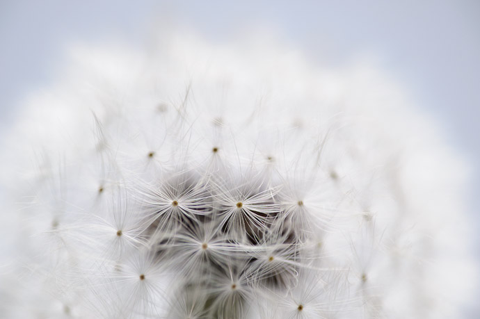 desktop background image of a closeup of a dandelion -- Dimply -- Kyoto, Japan -- Copyright 2011 Jeffrey Friedl, http://regex.info/blog/