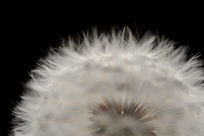 desktop background image of a closeup of a dandelion -- Corona -- Kyoto, Japan -- Copyright 2011 Jeffrey Friedl, http://regex.info/blog/