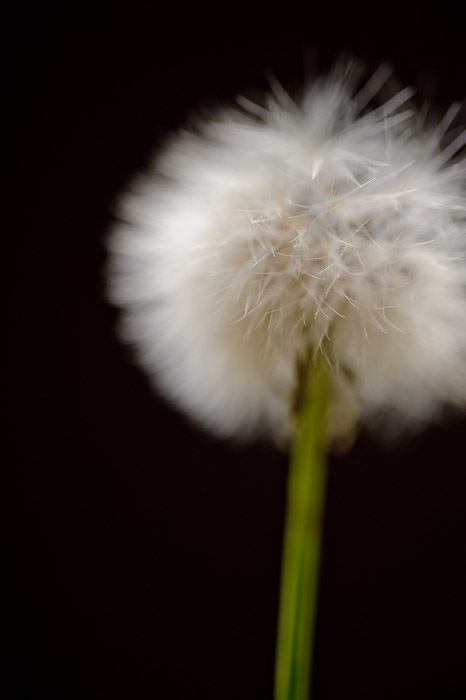desktop background image of a closeup of a dandelion -- Barest Edge of the Cloud it's instructive to view the bokeh of the closest hairs in the large version -- Kyoto, Japan -- Copyright 2011 Jeffrey Friedl, http://regex.info/blog/