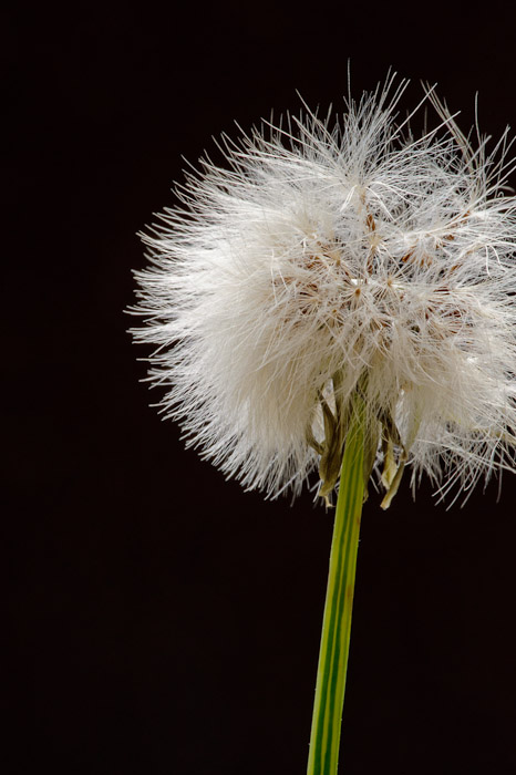 desktop background image of a closeup of a dandelion -- as seen in &#8220; Exploring the Sharper Side of the Voigtländer 125mm f/2.5 &#8221; <!-- -- Kyoto, Japan -- Copyright 2011 Jeffrey Friedl, http://regex.info/blog/
