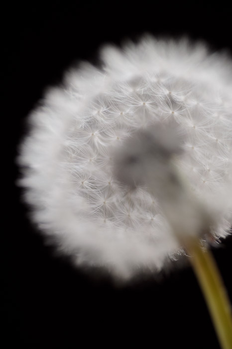 desktop background image of a closeup of a dandelion -- Back Edge nothing's very sharp because it's looking through the puff to focus on the rear edge -- Kyoto, Japan -- Copyright 2011 Jeffrey Friedl, http://regex.info/blog/