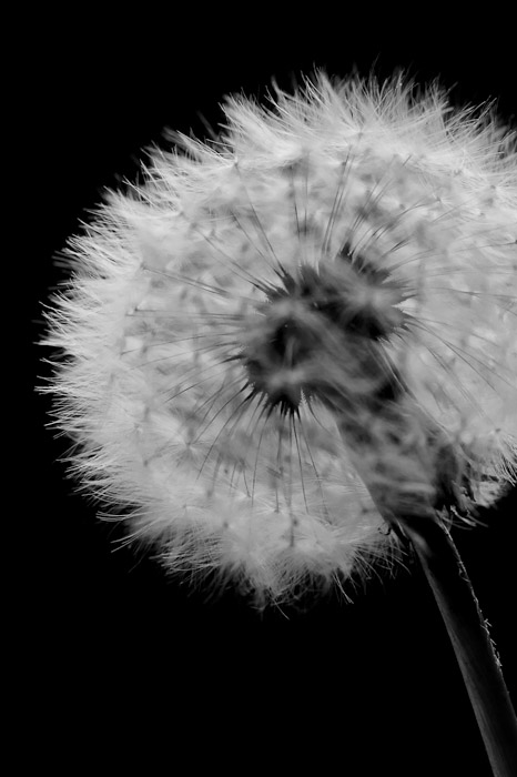 desktop background image of a closeup of a dandelion -- Kyoto, Japan -- Copyright 2011 Jeffrey Friedl, http://regex.info/blog/