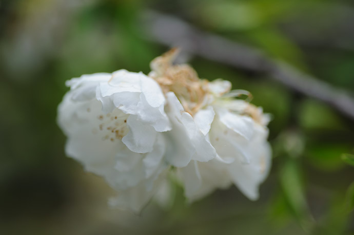 desktop background image of white blossom of some sort -- Shogunzuka (将軍塚) -- Kyoto, Japan -- Copyright 2011 Jeffrey Friedl, http://regex.info/blog/