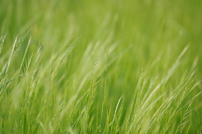 desktop background image of soft grass -- Roadside Grass -- Uji, Kyoto, Japan -- Copyright 2011 Jeffrey Friedl, http://regex.info/blog/