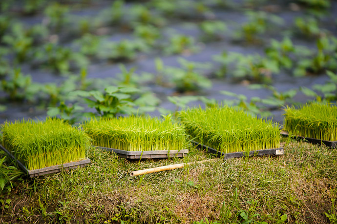 Rice Seedlings -- Uji, Kyoto, Japan -- Copyright 2011 Jeffrey Friedl, http://regex.info/blog/