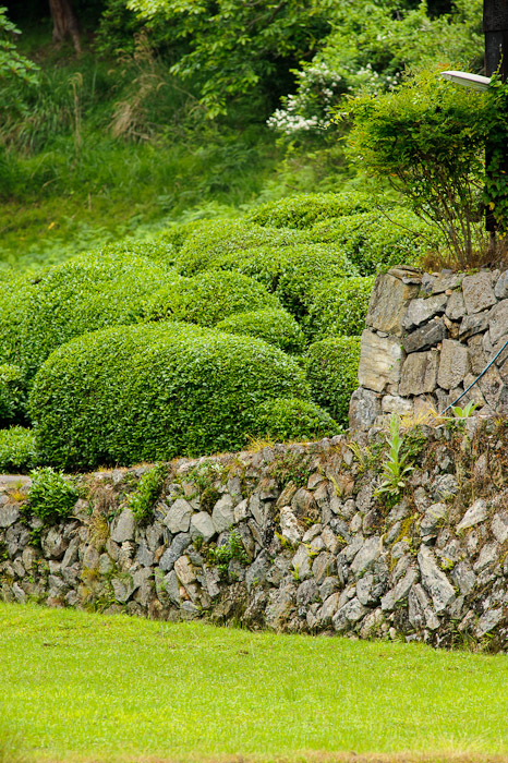 "Tea Leaves on a ""tea bush"", I guess -- Uji, Kyoto, Japan -- Copyright 2011 Jeffrey Friedl, http://regex.info/blog/"