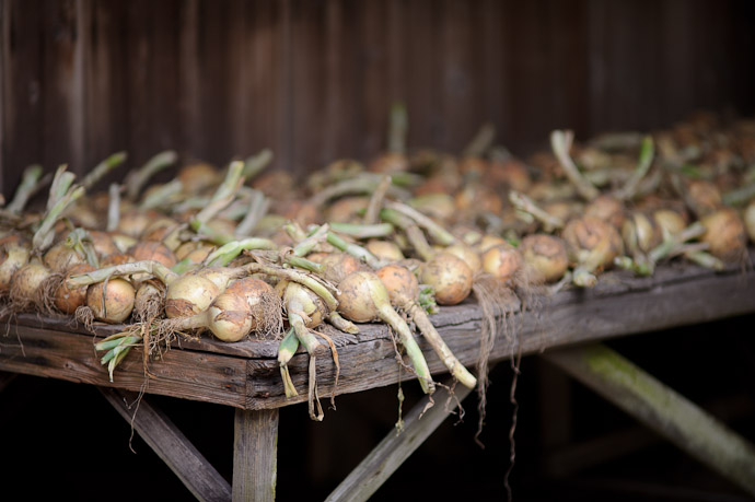 desktop background image of a bench filled with just-harvisted onions, in Uji City, Japan -- Bountiful Onion Harvest -- Uji, Kyoto, Japan -- Copyright 2011 Jeffrey Friedl, http://regex.info/blog/