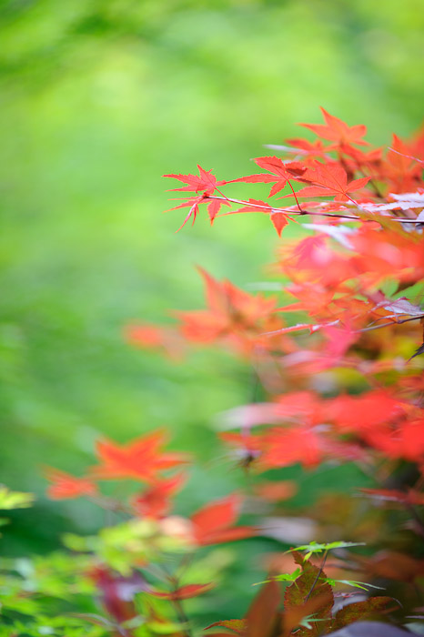 desktop background image of brilliantly orange-red leaves in front of a backdrop of green -- Uji, Kyoto, Japan -- Copyright 2011 Jeffrey Friedl, http://regex.info/blog/