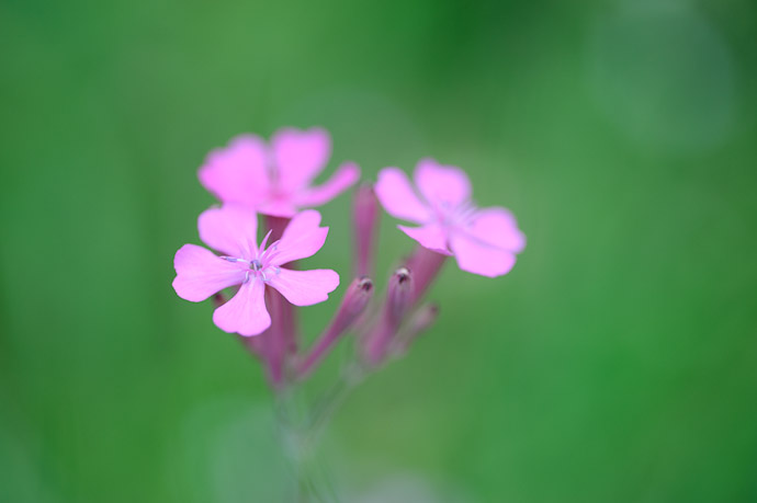 desktop background image of pretty purple flowers -- Uji, Kyoto, Japan -- Copyright 2011 Jeffrey Friedl, http://regex.info/blog/