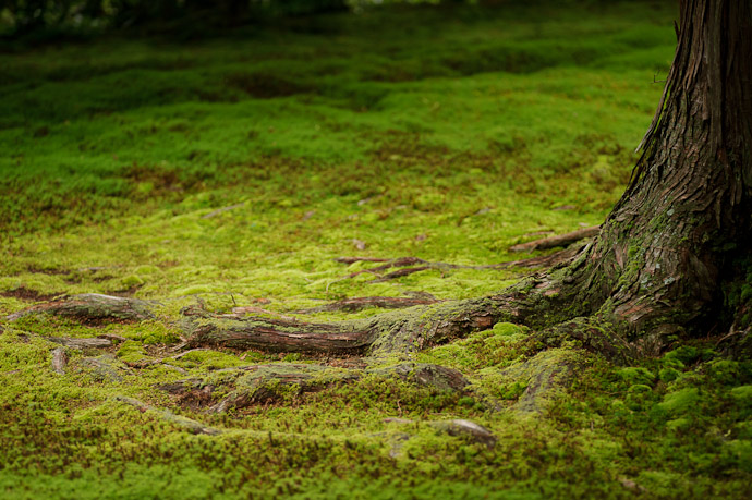 desktop background image of tree roots emerging from a bed of moss, at the Sanzen-in Temple (三千院), Kyoto Japan -- Serene Tension -- Sanzen-in Temple (三千院) -- Copyright 2011 Jeffrey Friedl, http://regex.info/blog/