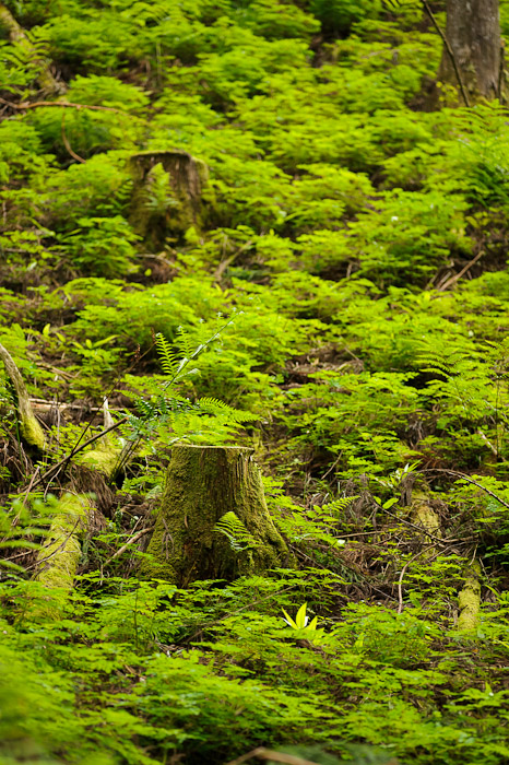 desktop background image of a mountainside of ferns -- Slope of Ferns -- Kyoto, Japan -- Copyright 2011 Jeffrey Friedl, http://regex.info/blog/