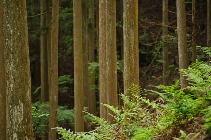 Lots'a Ferns, Lots'a Trees -- Kyoto, Japan -- Copyright 2011 Jeffrey Friedl, http://regex.info/blog/