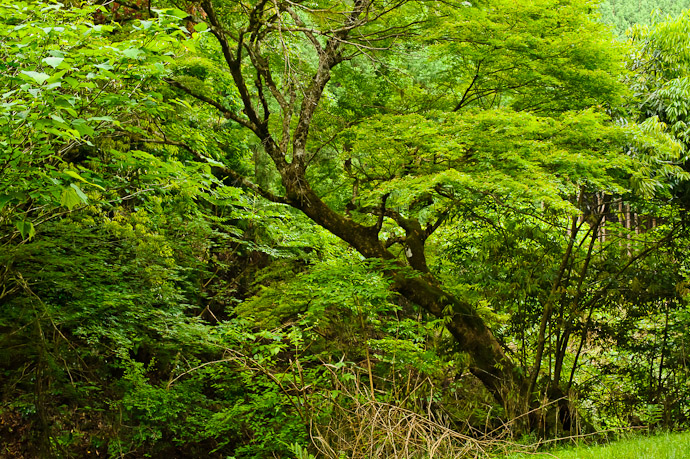 Tree Across From Where We Parked I sort of like the look of its lean out over a stream -- Kyoto, Japan -- Copyright 2011 Jeffrey Friedl, http://regex.info/blog/