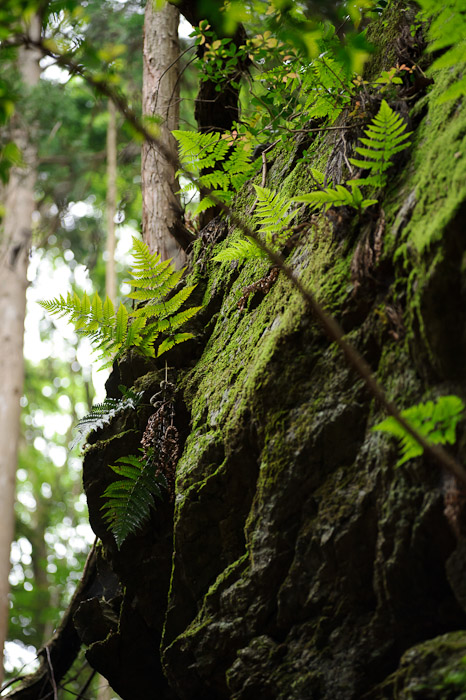 Tree (and Ferns) Growing On Bare Rock -- Kyoto, Japan -- Copyright 2011 Jeffrey Friedl, http://regex.info/blog/