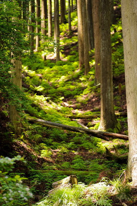 desktop background image of a carpet of green ferns and vegitation below towering ceders in a mountaion forest in Kyoto, Japan -- Carpet of Green -- Copyright 2011 Jeffrey Friedl, http://regex.info/blog/