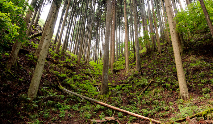 desktop background image of a mountain forest of ceder -- Begs to be Big -- Kyoto, Japan -- Copyright 2011 Jeffrey Friedl, http://regex.info/blog/