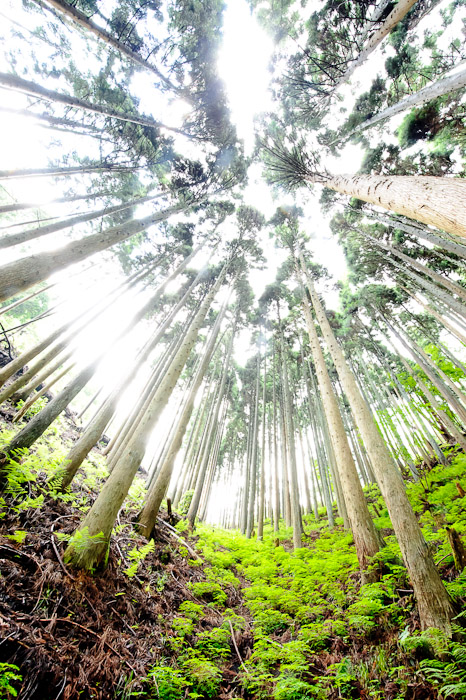 desktop background image of a forest of lush green and straight cedar, in the mountains of northern Kyoto, Japan -- Overexposed -- Copyright 2011 Jeffrey Friedl, http://regex.info/blog/