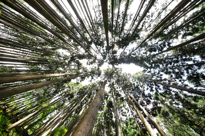 desktop background image of looking up while surrounded by very tall almost-branch-free cedars in the mountain forest of northern Kyoto, Japan -- Surrounded by Giants -- Copyright 2011 Jeffrey Friedl, http://regex.info/blog/