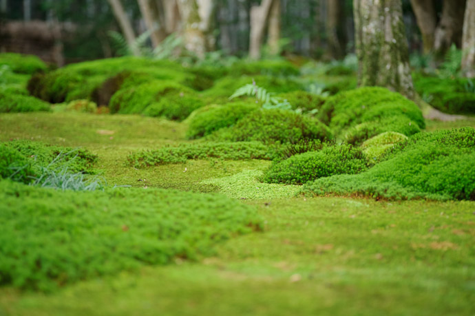 desktop background image of moss in the garden of the Giouji Temple (祇王寺) in Kyoto, Japan -- Moss in Giouji -- Giouji Temple (祇王寺) -- Copyright 2011 Jeffrey Friedl, http://regex.info/blog/