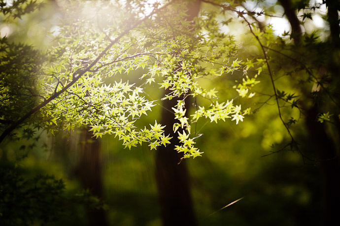 desktop background image of sunlight streaming behind some green maple leaves -- Giouji Temple (祇王寺) -- Kyoto, Japan -- Copyright 2011 Jeffrey Friedl, http://regex.info/blog/