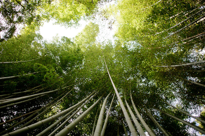 desktop background image of looking up at a canopy of bamboo, in Kyoto Japan -- Up -- Giouji Temple (祇王寺) -- Copyright 2011 Jeffrey Friedl, http://regex.info/blog/