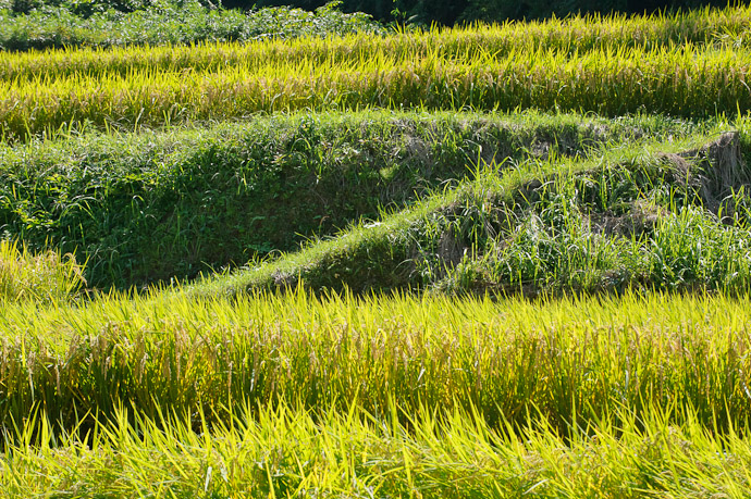 Gradations five rice paddies in the mountains of north-eastern Osaka Prefecture, Japan -- Katano, Osaka, Japan -- Copyright 2011 Jeffrey Friedl, http://regex.info/blog/