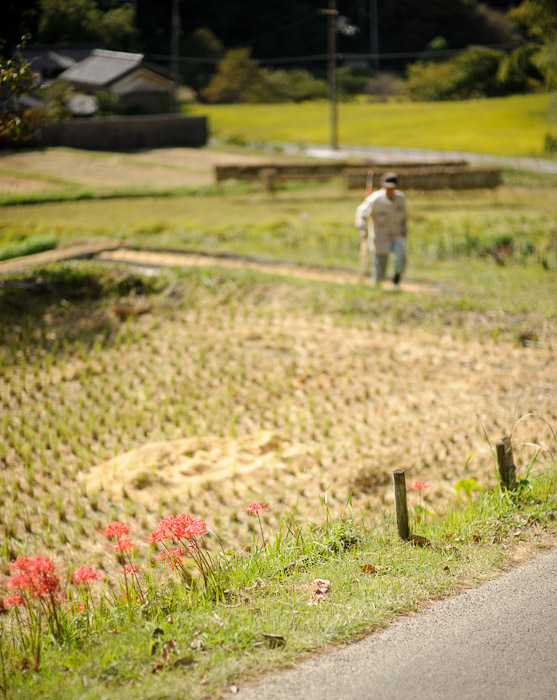 Spider Lilies By The Side of the Road with a farmer tidying up a harvested rice field in the background -- Katano, Osaka, Japan -- Copyright 2011 Jeffrey Friedl, http://regex.info/blog/